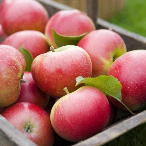 Calvados, æbler, æblemost, vine